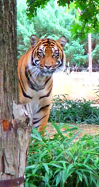 Tiger behind tree
